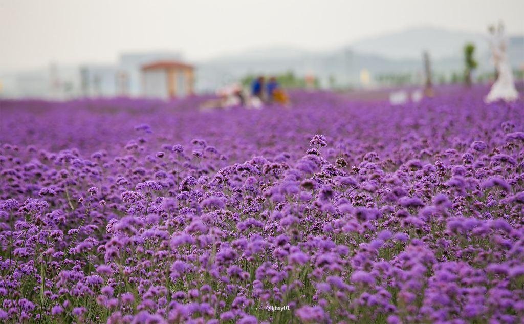 海阳连理岛,有薰衣草的夏天