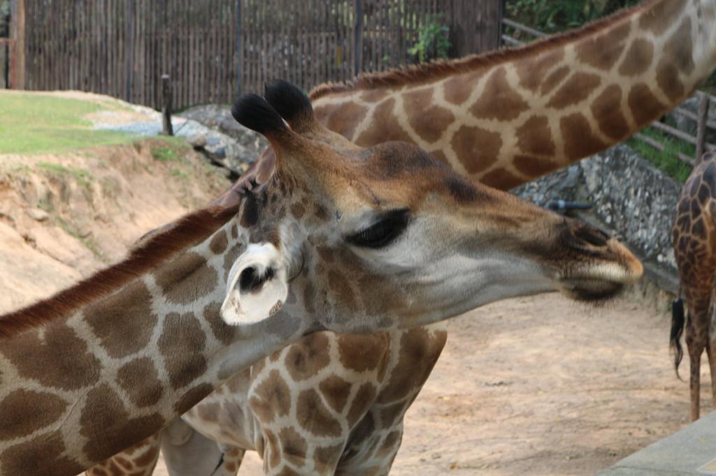 位于芭堤雅,是受国家保护的野生动物园.