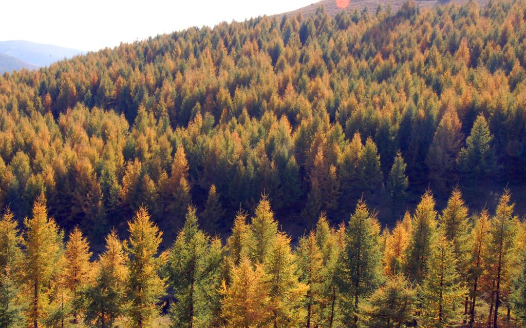 草场为伴的是一片片茂密的山林,以桦树与落叶松为多,树木密密层层图片
