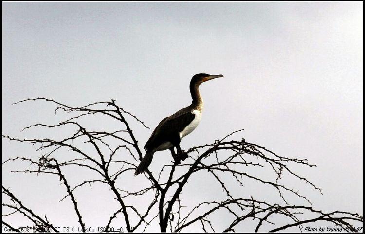 婷婷玉立的仙鹤 纳瓦沙湖最主要的鸟类是鱼鹰,它素有鱼鹰的故乡美称