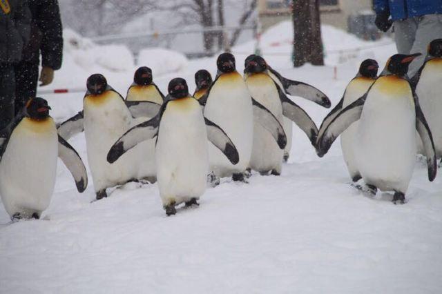旭川动物园的企鹅巡游