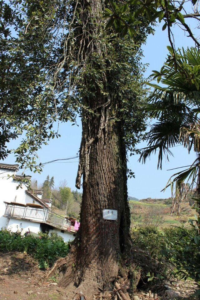 永思堂院里的香椿树有600年