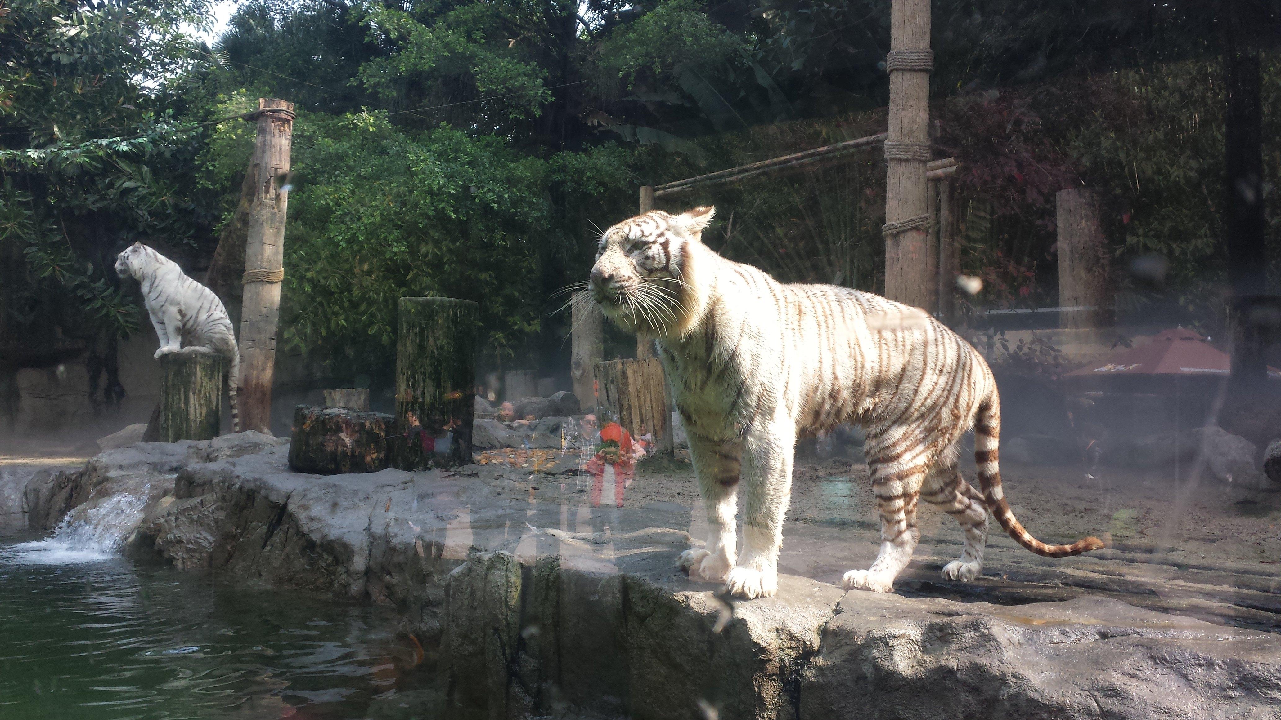 长隆野生动物世界 百虎山上的白虎非常凶猛