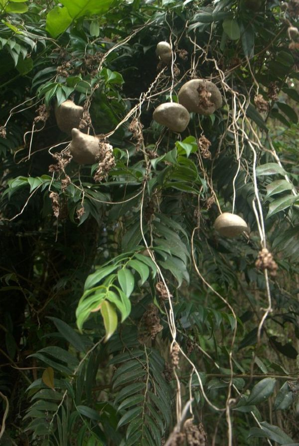 原始森林山竹的图片