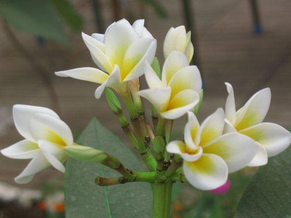 六列山槟榔