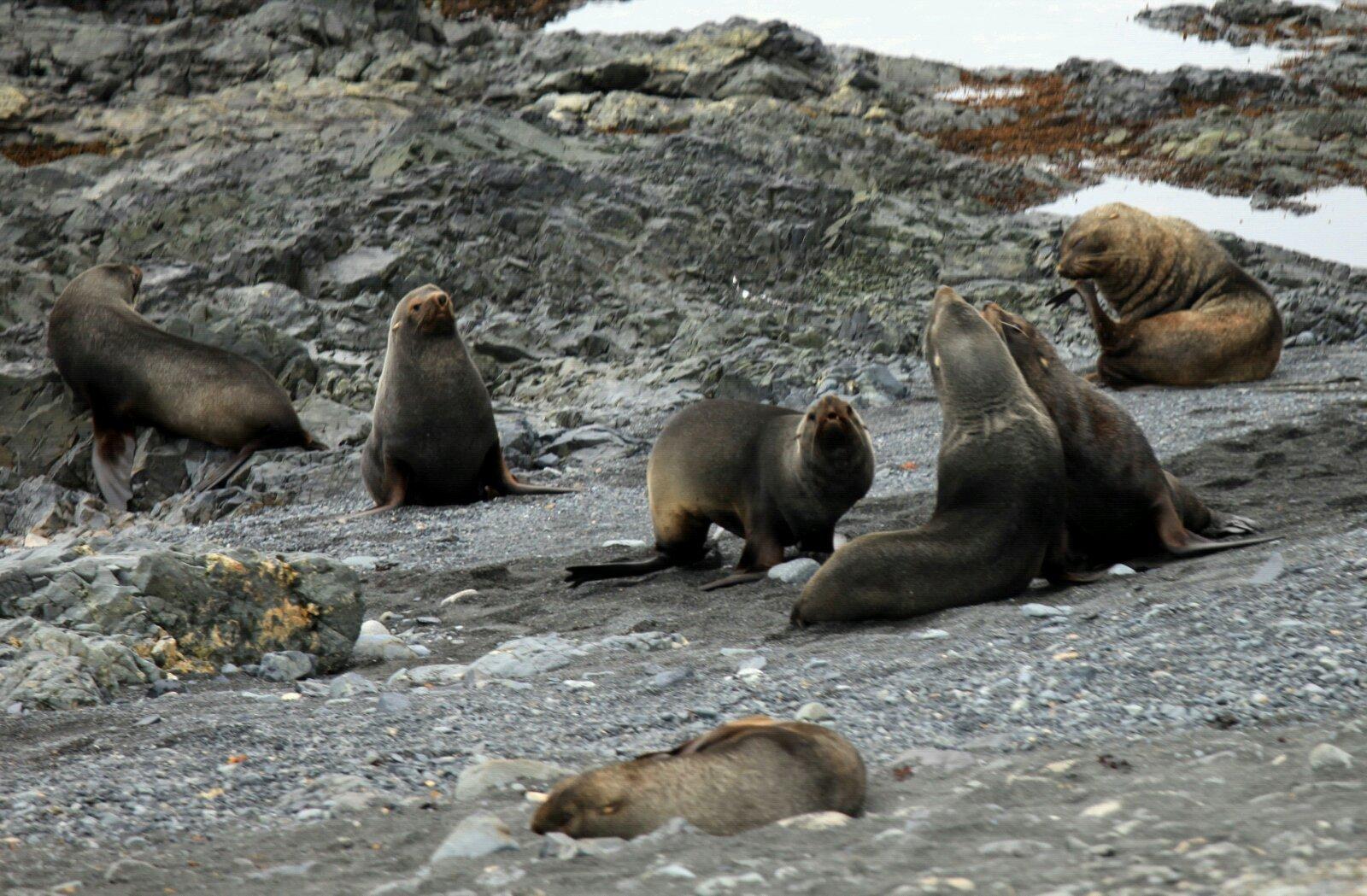 半月岛上的海狗成片躺在沙滩边上群殴,同时还发出各种口哨声引人围观