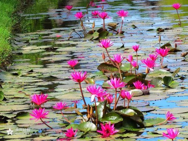 柬埔寨是佛教国家,随处可见莲花