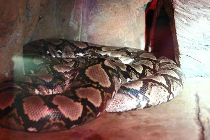 明显肚子里吞了东西的大蟒蛇