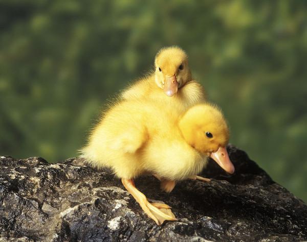 """我很开心地说:""""这些小鸭子好可爱哟."""" 旁边静了一刻,然后是一阵爆笑."""