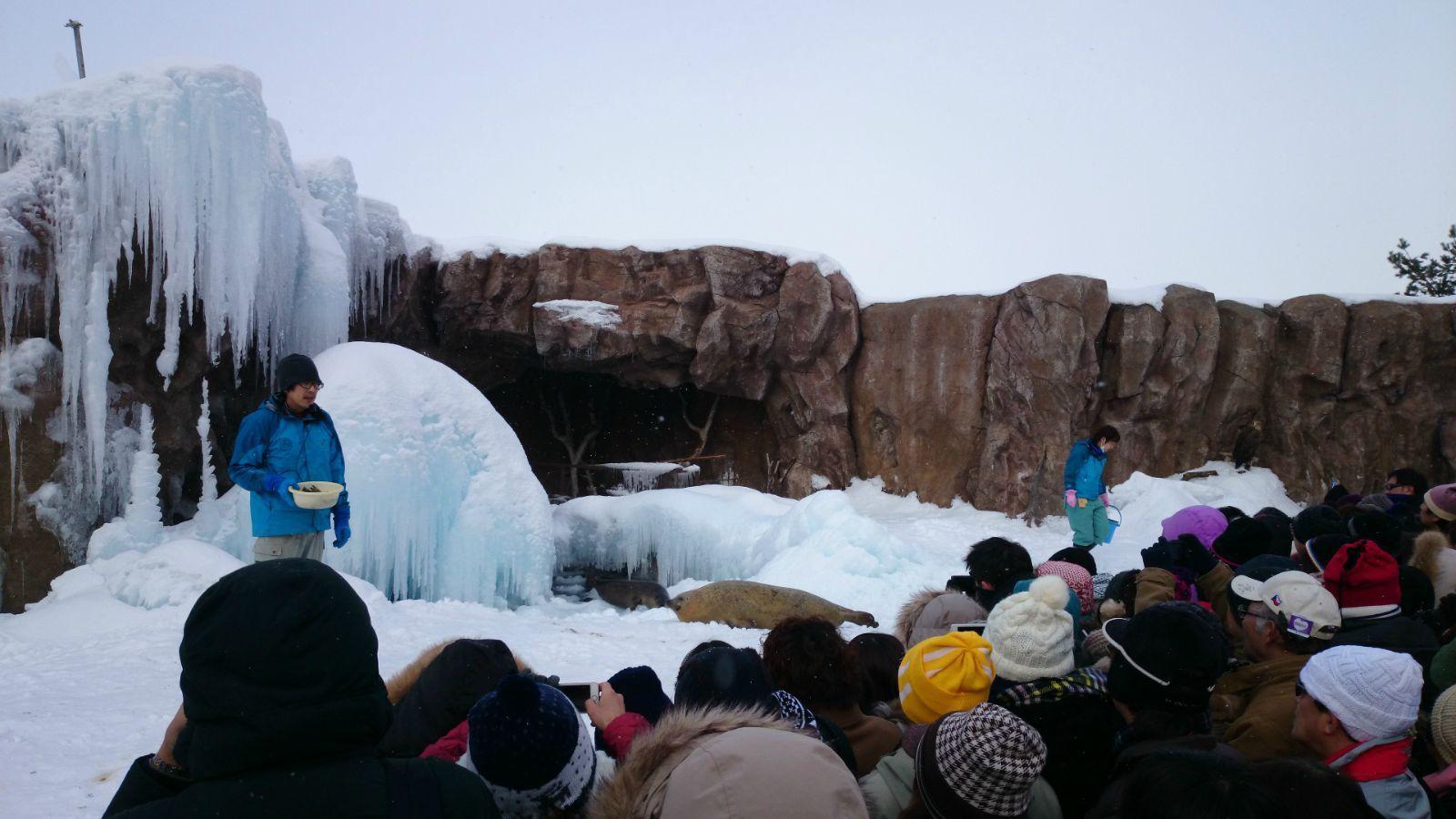 旭山动物园的明星——企鹅散步