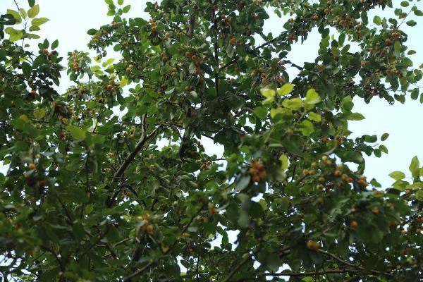 树上结满了海棠,我还是第一次见到海棠果子,摇几颗下来,发到微信朋友