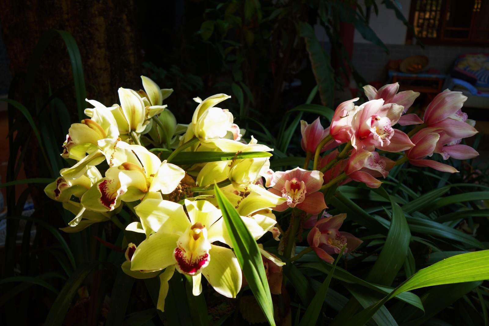 寺庙一个幽暗的角落里,兰花开得正艳,在一屡阳光照射下,熠熠生辉!