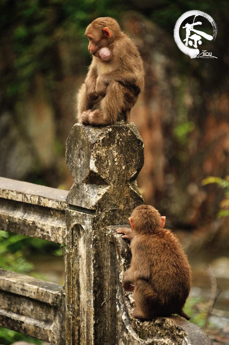 桐木村:来看关里的猴子    由于环境保护得好,这里随处可以看到野生