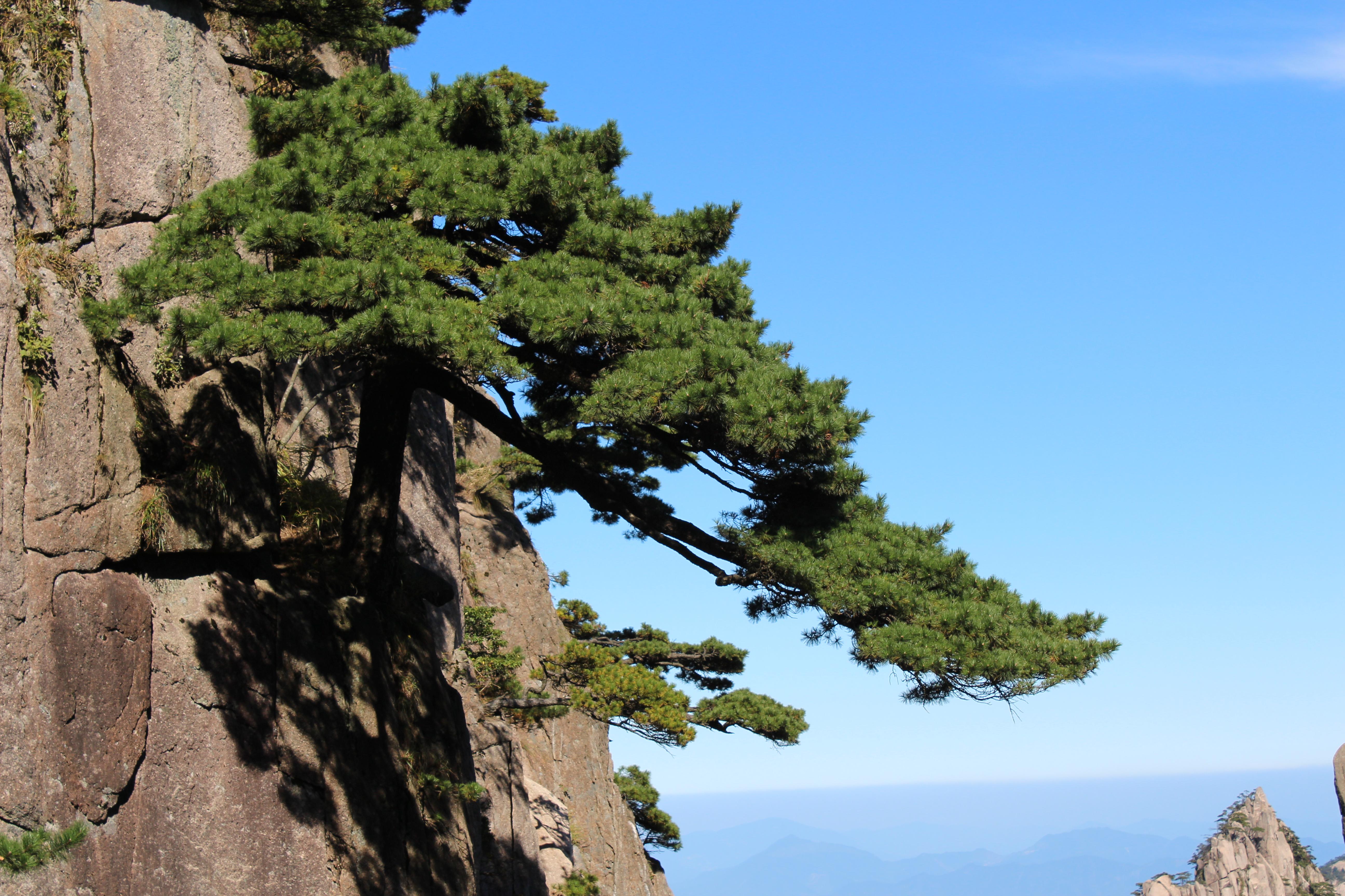 黄山的松树都很漂亮