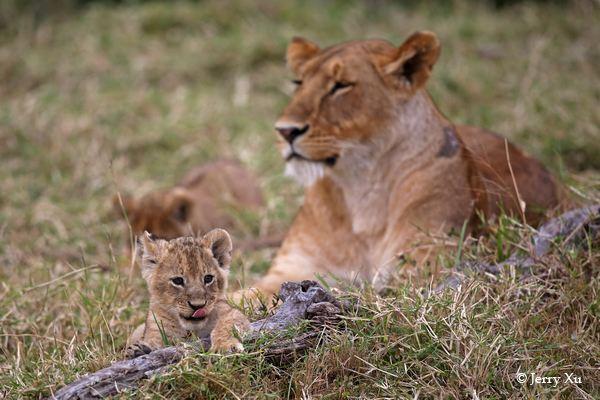 拍好可爱的小狮子,接下来要拍摄的自然是母亲对小狮子的爱,母狮原来