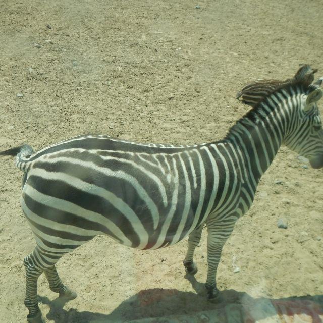 北京野生动物园的重头戏:乘坐笼子车参观散养区.