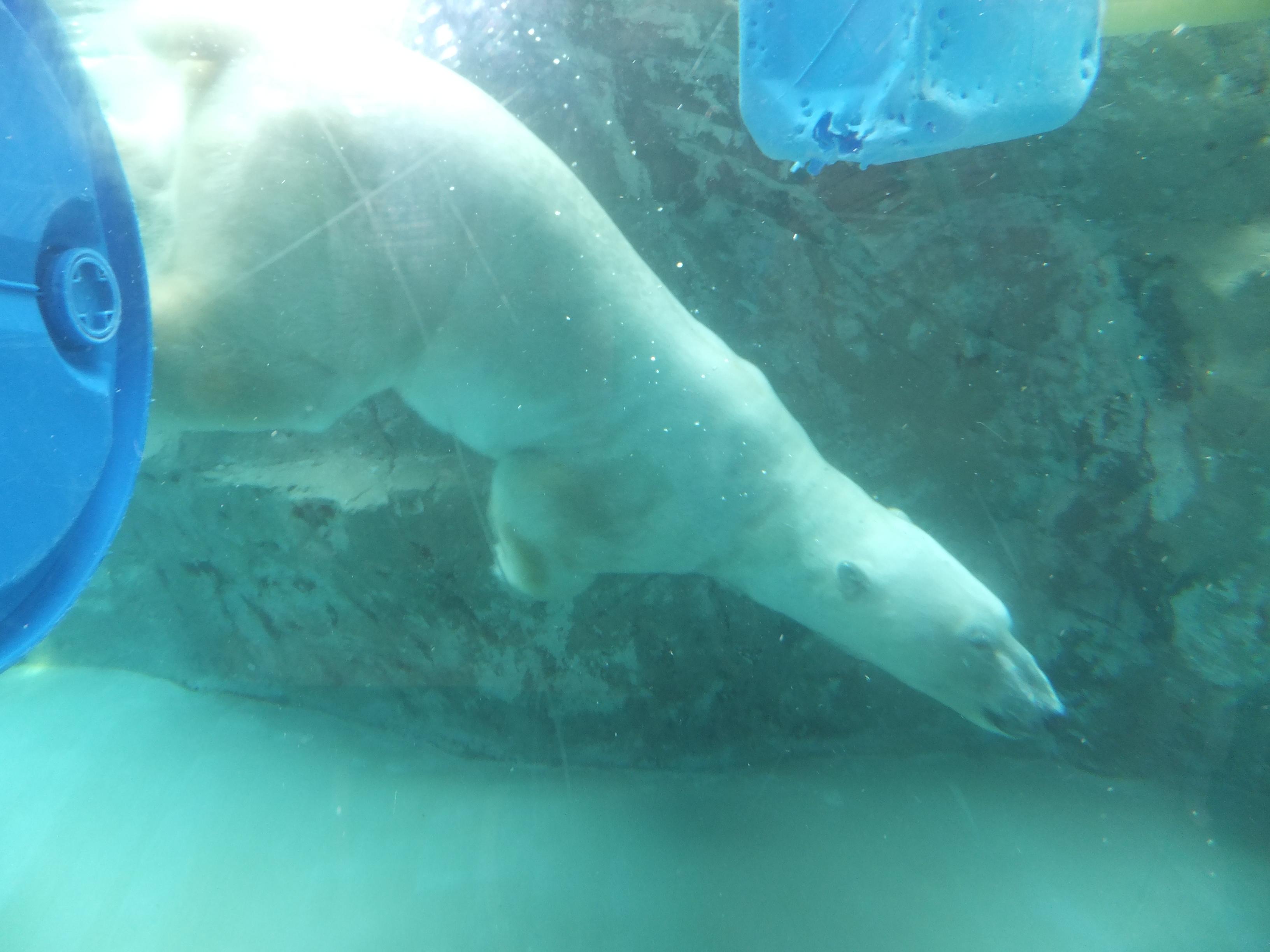 旭川动物园的北极熊