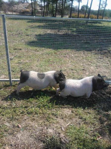 两只小猪你追我赶,胖嘟嘟的黑白花纹,真可爱,儿子开心的一直学者小猪