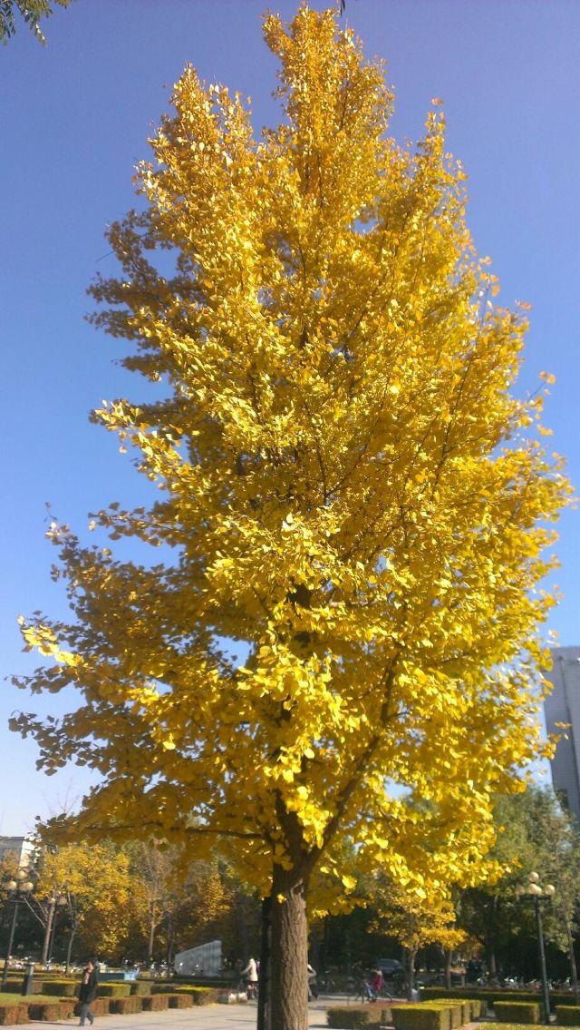 银杏是成都市树,而在银杏叶子假金黄的季节很多市民会去华西医大里面图片