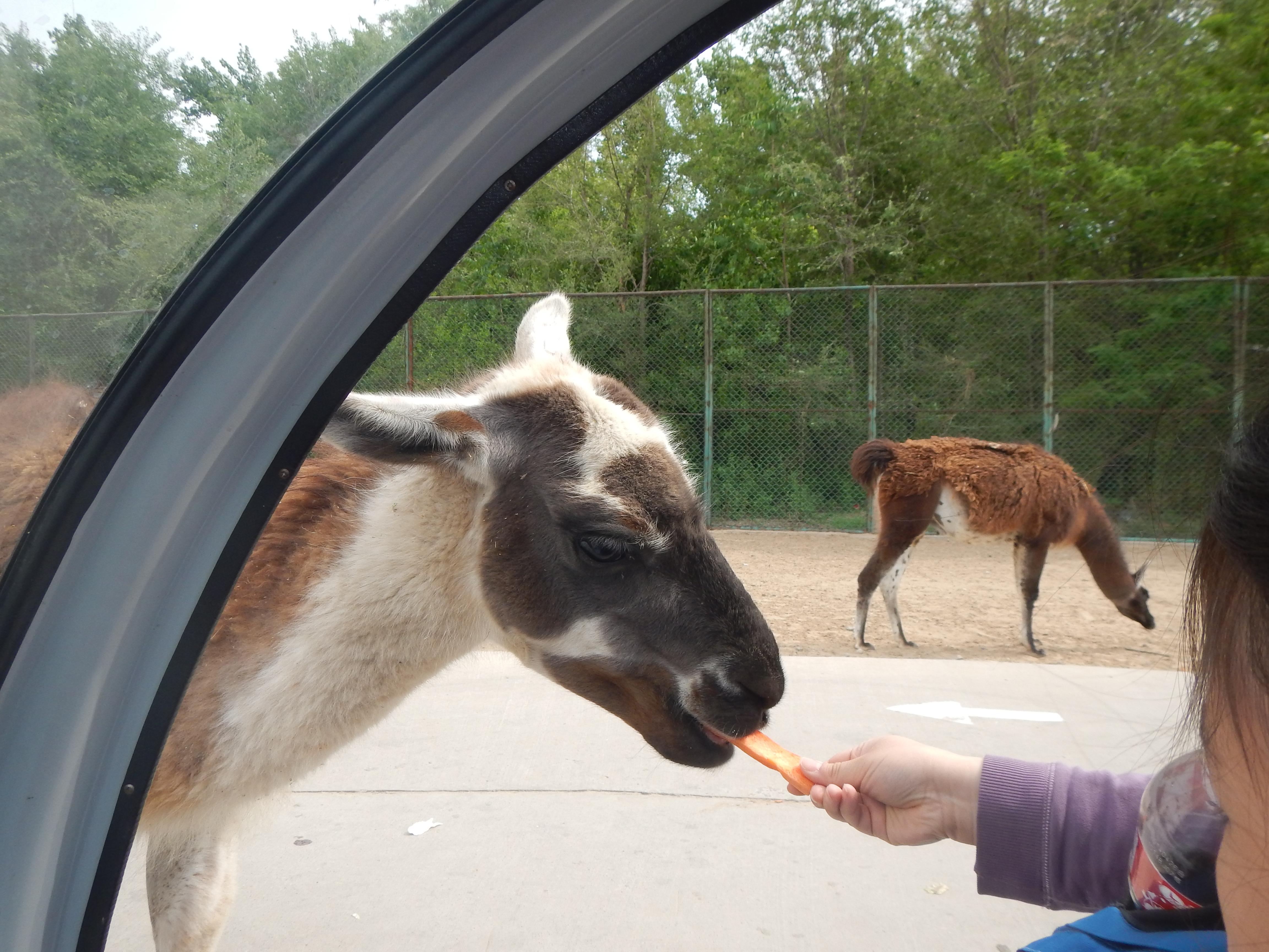 北京野生动物园 没有坐车笼子车与动物近距离接触也不遗憾,现在园内
