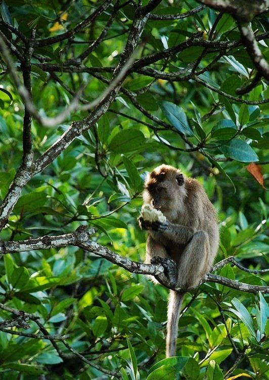 东马来西亚,沙巴(亚庇,神山,红树林,萤火虫,长臂猴)