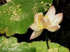 皇家植物园-悉尼-梦露夫人