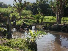 斐济印度神庙+热矿泥浴  +斐济第一村+大脚吖岛+航拍旅拍一日游