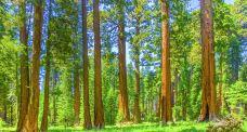 马里波萨谷巨杉林-优胜美地国家公园及周边地区-尊敬的会员