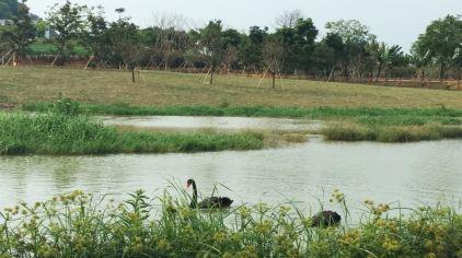 12-黑天鹅