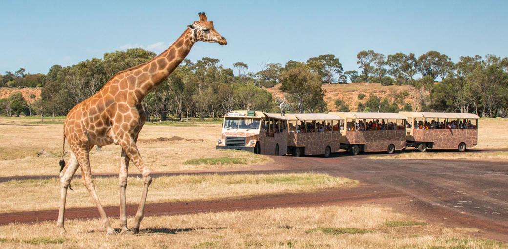 멜버른 웨리비 오픈 레인지 동물원 입장권