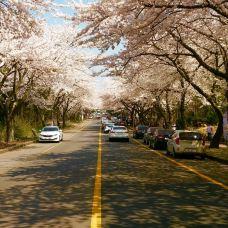 樱花大道-济州岛-__赛__