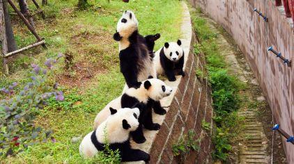 四川成都 大熊猫繁育基地