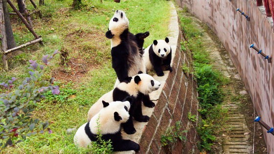Private Chengdu Giant Pandas and Sanxingdui Museum of Bronzes Day Tour