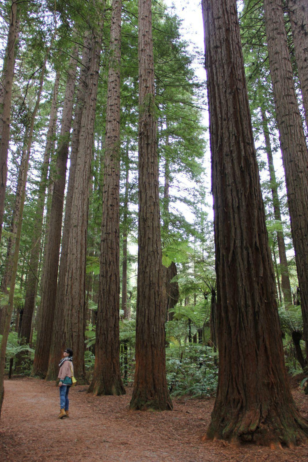 都是參天大樹,美國那個紅杉樹林我也很向往