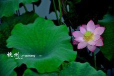 荷花-西湖-杭州-qi****u