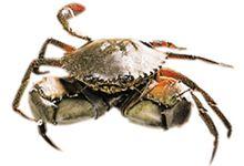 凯恩斯美食图片-澳洲泥蟹