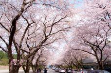 樱花大道-济州岛-西西里玩不停