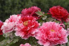 国家牡丹园-洛阳-用户12491