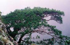 扇子松-黄山风景区-盲龟_浮木